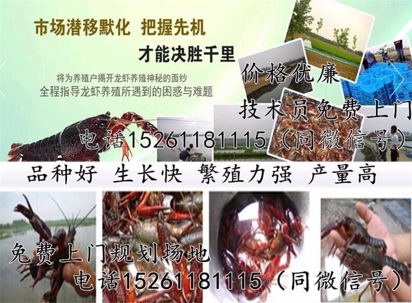 丰都优质龙虾苗出售龙虾种苗养殖行情