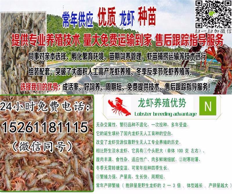 汨罗优质龙虾苗出售-小龙虾苗报价-龙虾种苗养殖利润