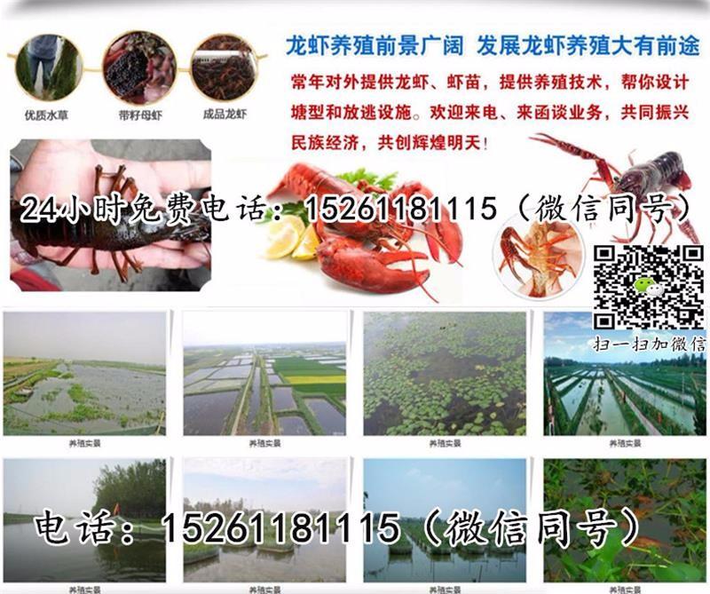 赤壁小龙虾苗多少钱一斤-小龙虾苗怎么卖-龙虾种苗养殖利润