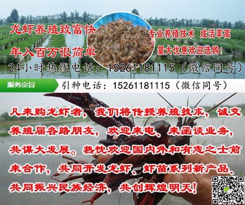 泉州小龙虾苗价格稻田养殖小龙虾
