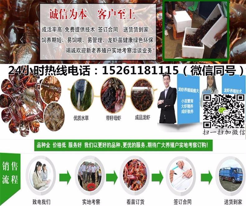 兴化小龙虾苗供应价格-龙虾养殖稻田养殖小龙虾
