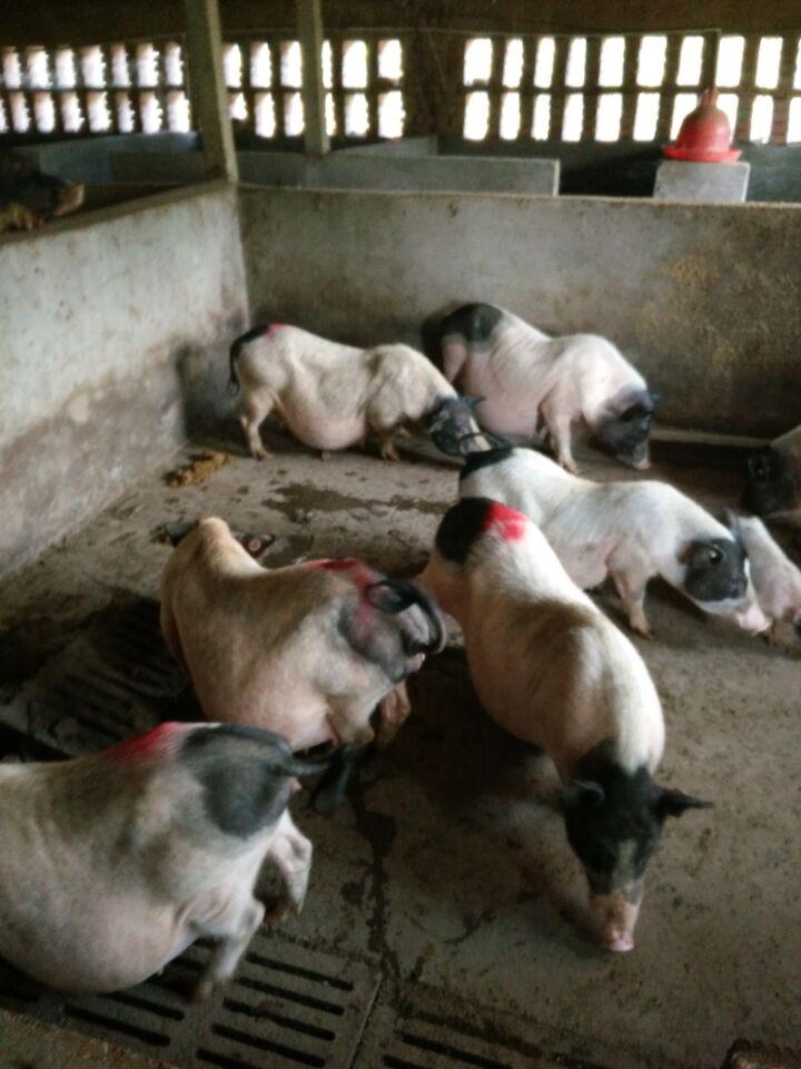 自贡藏香猪巴马香猪多少钱巴马香猪的肉质怎么样湖北黄石市附近香猪苗