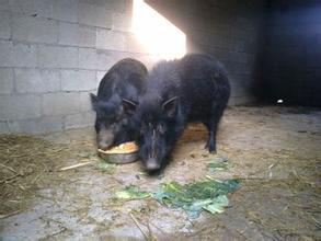 香猪养殖辽宁葫芦岛市附近藏香猪养殖场猪通亚巴马香猪养殖场
