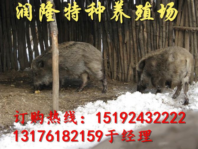 现在养野猪一般几个月出栏堆龙德庆县