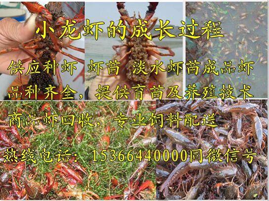 常州武进小龙虾养殖基地欢迎前来指导参观