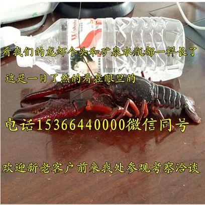 泰安淡水小龙虾多少钱、泰安有限公司