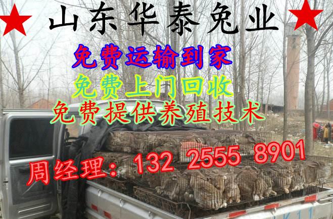 杂交野兔养殖聂荣县13225558901