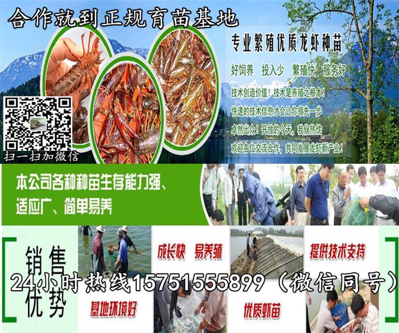 铅山县小龙虾种苗场小龙虾苗多少钱一斤