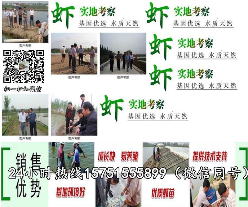 昌乐县小龙虾种苗价格小龙虾苗多少钱一斤