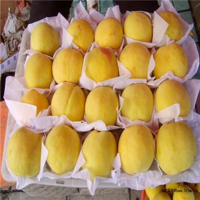 山东泰安黄金蜜桃树苗黄金蜜桃树苗价格多少
