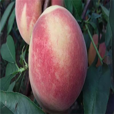 早熟桃树苗新品种早熟桃树苗行情