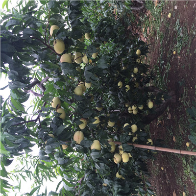 新世纪一号草莓苗栽培技术新世纪一号草莓苗种植技术