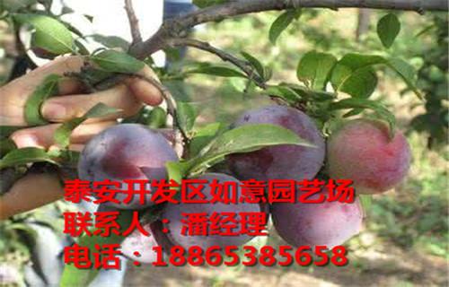 伊犁州章姬草莓苗2公分桃苗怎么�u