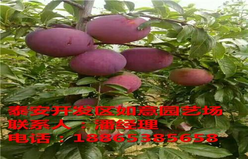 延安章姬草莓苗中油20�桃苗批�l