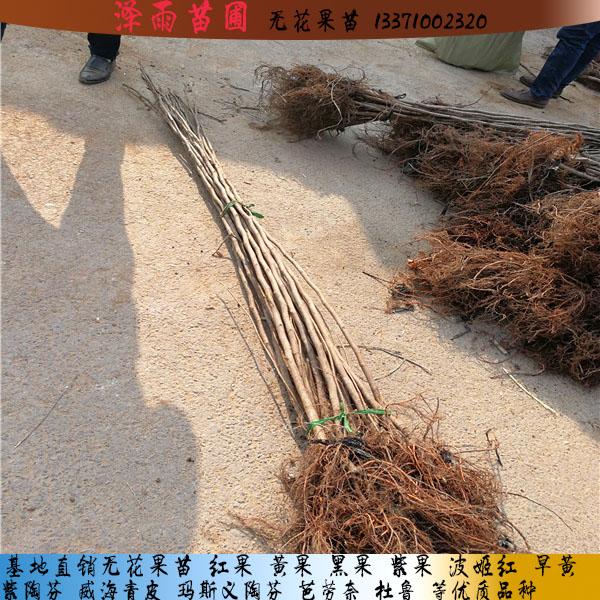 1213无花果苗质量有保证的北京1213无花果苗