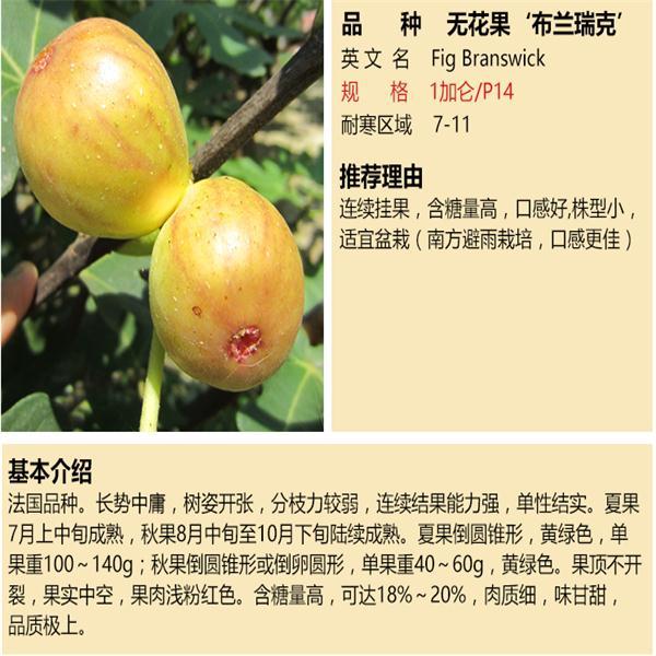 亚当蓬莱柿无花果苗特价销售广东亚当蓬莱柿无花果苗