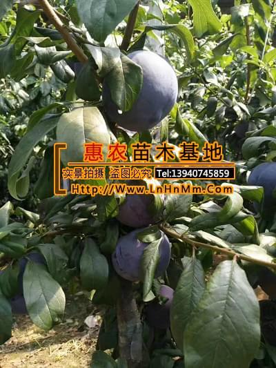 云南迪庆藏族自治州嫁接黑霸李子树免费咨询