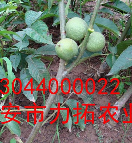 萍乡纸皮核桃树苗批发价格三年苗供应