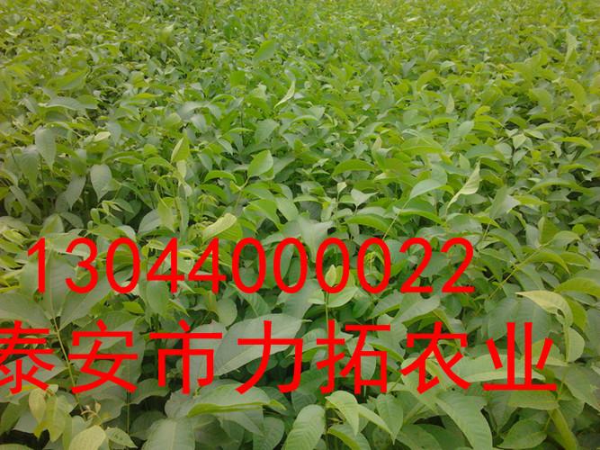 上海纸皮核桃种苗价格三公分价格