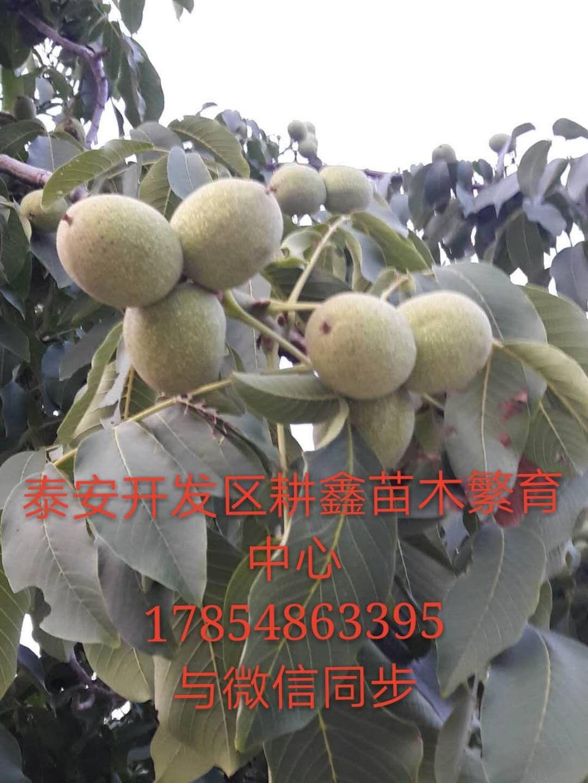 大庆嫁接核桃苗多少钱一棵耕鑫苗木