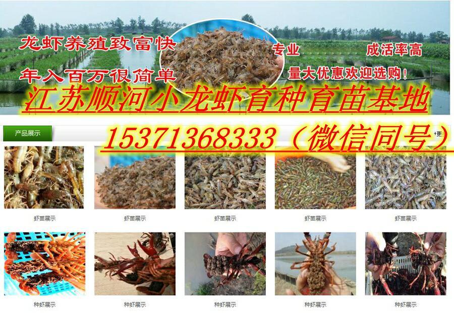 合肥市庐阳哪里批发澳龙种虾多少钱一斤诚信商家提供