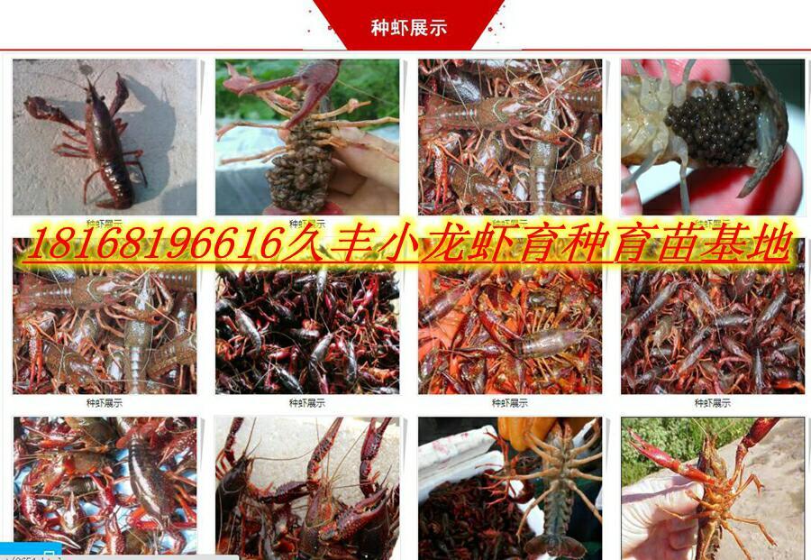 遂宁现在小龙虾苗价格小龙虾种苗批发多少钱一斤