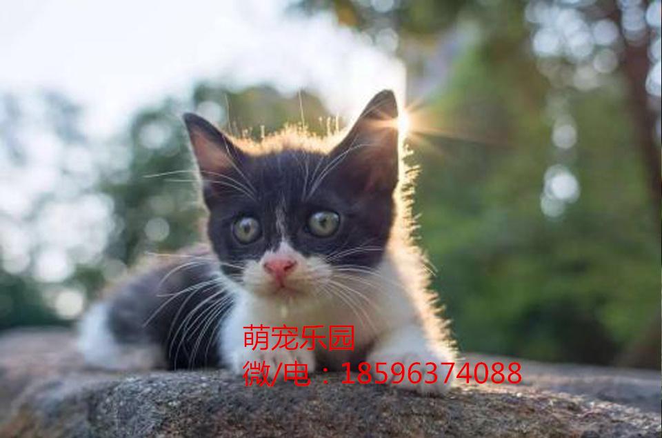 福鼎中华田园猫