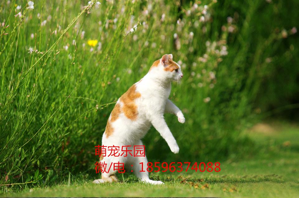 福安宠物猫