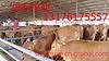 购买小黄牛多少钱