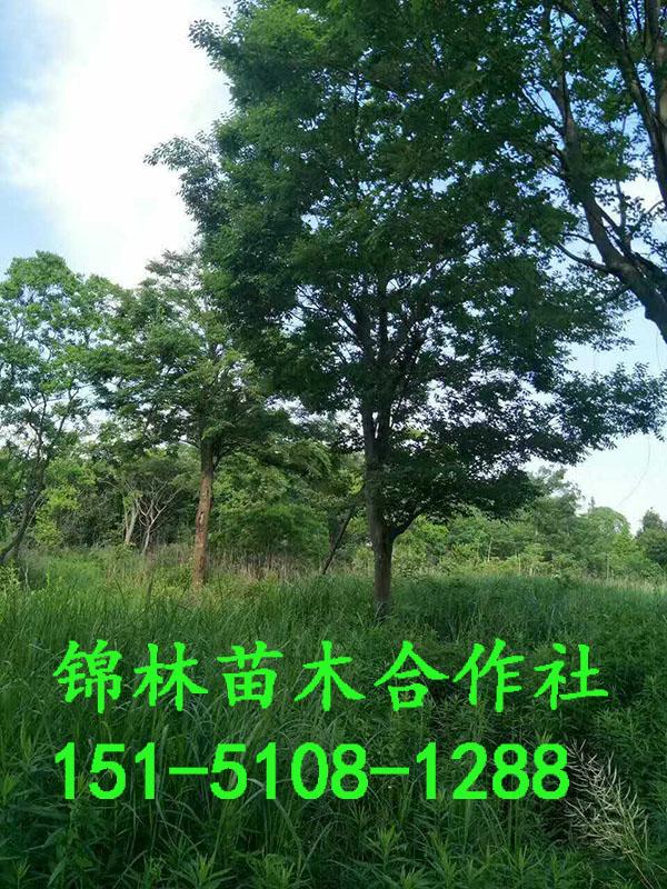 平顶山15公分大叶女贞种植基地