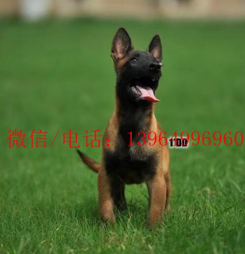 乌尔禾区好的马犬幼犬哪里有11
