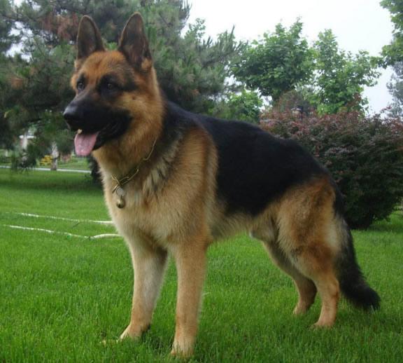 安阳精品德国牧羊犬幼犬出售
