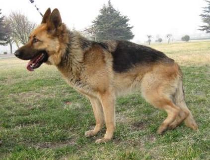 迎江区精品德国牧羊犬幼犬出售