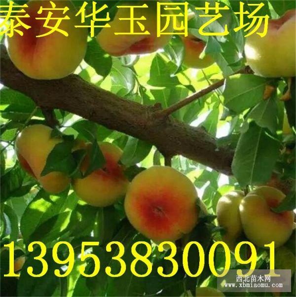 中油16号油桃苗文登种植方法