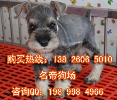 深圳哪里有卖雪纳瑞犬 纯种雪纳瑞幼犬多少钱