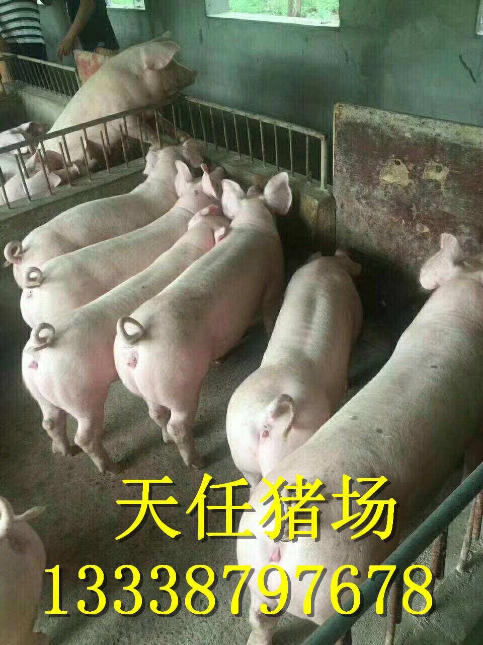繁昌县小公猪养殖基地