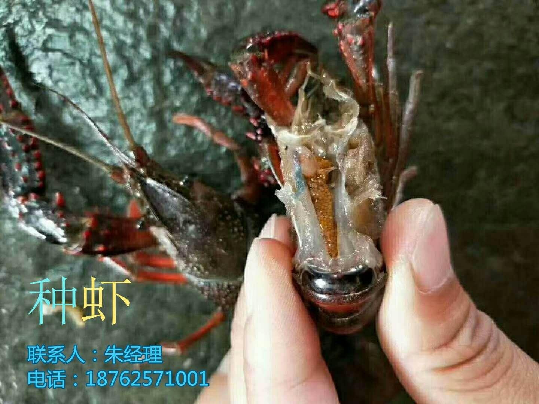 淡水龙虾苗多少钱一斤价格主变河源市源城区量淡水龙虾苗多少钱一斤价格