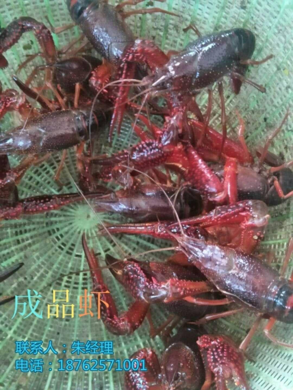 淡水龙虾苗哪里有卖价格主变宝鸡市太白县量淡水龙虾苗哪里有卖价格