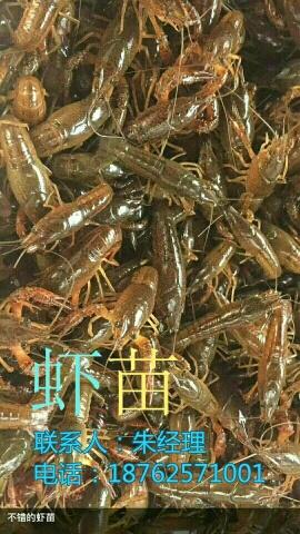 龙虾苗养殖基地价格主变拉萨市当雄县量龙虾苗养殖基地价格