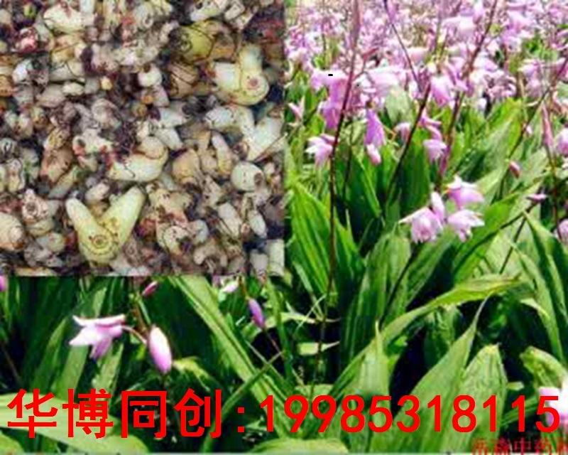 河池市中药材白芨种植欢迎访问