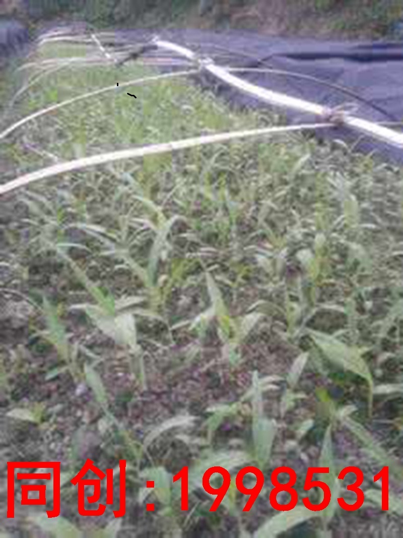 滨州市白芨种植技术范本欢迎您