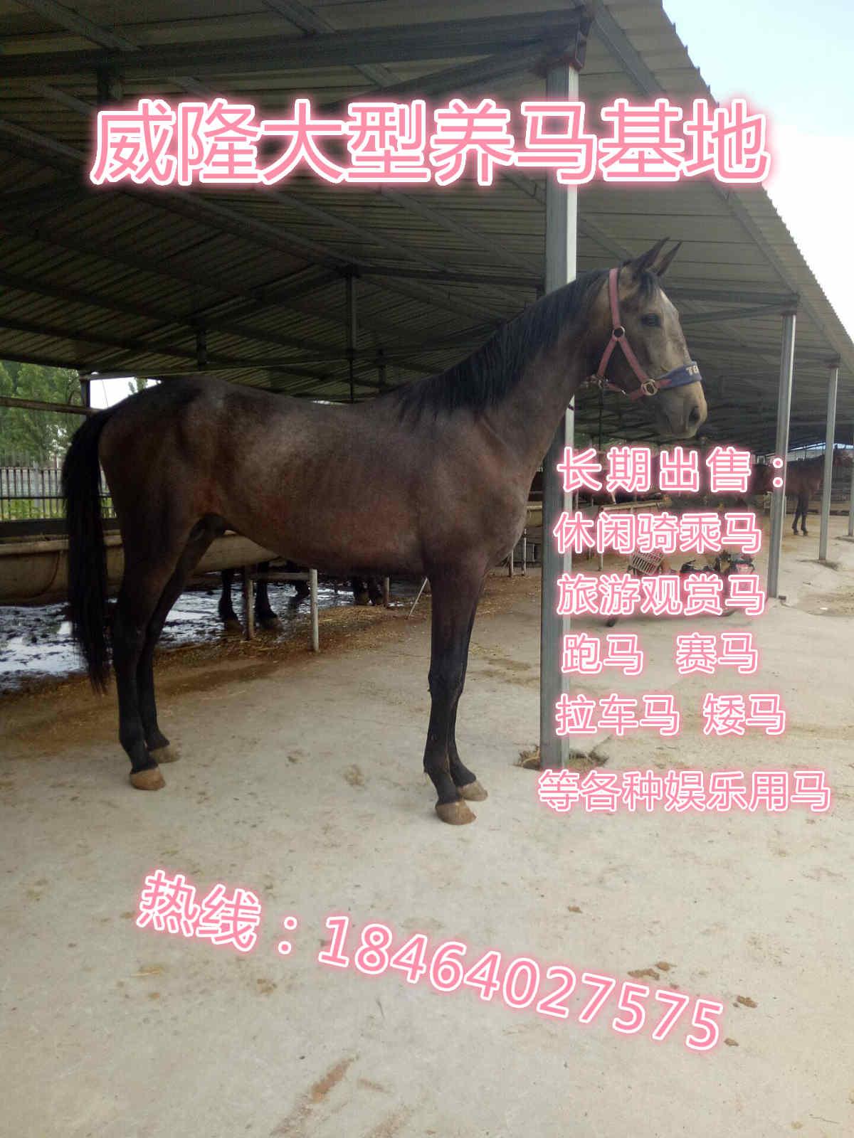 辽宁哪里有马匹出售基地养殖骑乘马卖马的