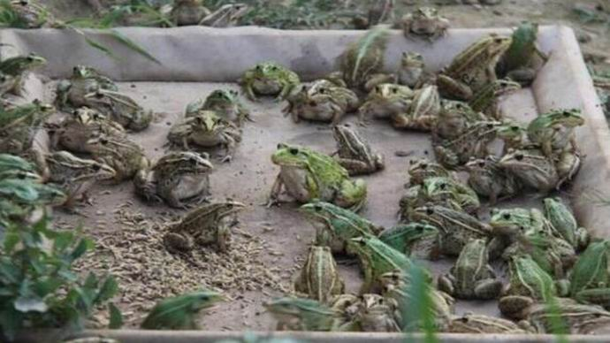 青蛙种苗提供