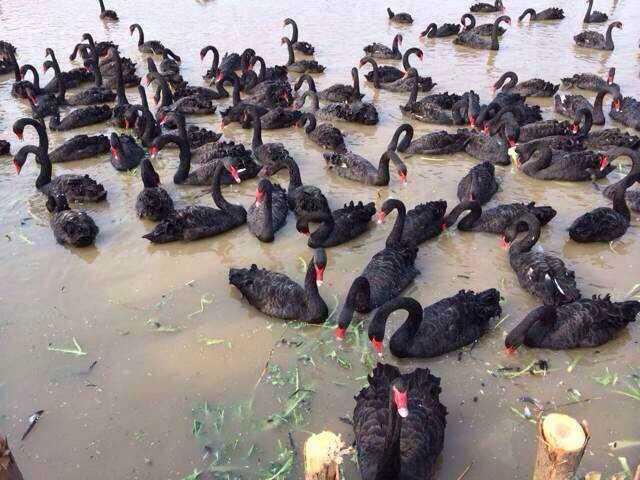 欢迎参观重庆市附近有养殖鳄鱼的吗兴旺特种养殖欢迎你