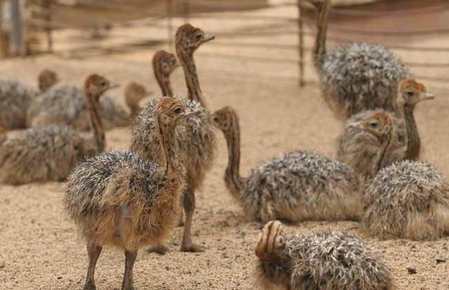欢迎参观克拉玛依市哪里有卖鸵鸟的兴旺特种养殖欢迎你