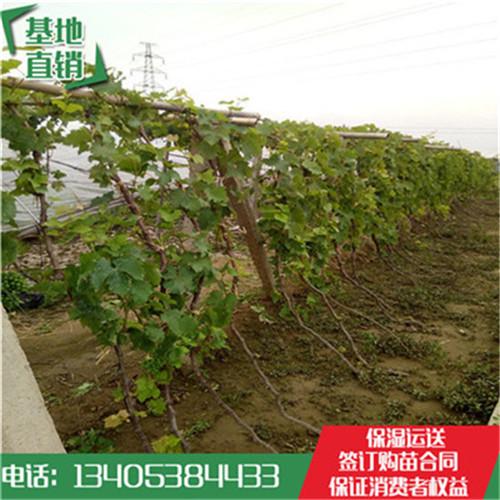 安徽省扦插红巴拉多袋装葡萄苗多少钱一棵