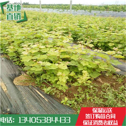 江西省营养钵贵妃玫瑰袋装葡萄苗报价多少钱