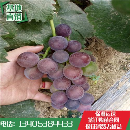 巨玫瑰袋装葡萄苗哪里能买到营养钵葡萄苗林泽园艺场