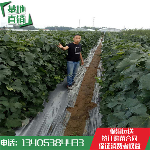 广西壮族自治区嫁接蜜光袋装葡萄苗多少钱一棵