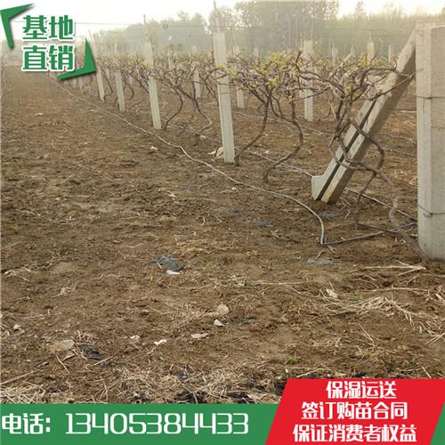 巨玫瑰袋装葡萄苗单价多少钱哪里能买到营养钵葡萄苗
